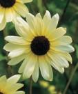 Bibit Sunflower Vanilla Ice