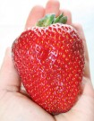 Bibit Strawberry Giant