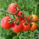 Tomat Lowland Hibrida