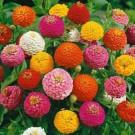 Bibit Bunga Zinnia Lilliputians