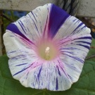 Morning Glory Purple Flaked Shibori