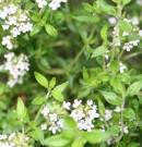 Herba Thyme (Thymus Vulgaris)