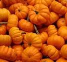 Benih Baby Pumpkin
