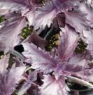 Benih Basil Purple Ruffles