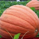 Big Max Pumpkin (Giant!)