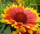 Bibit Bunga Gaillardia