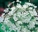 Gypsophila Monarch White