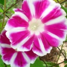 """Fuji No Beni"" Japanese Morning Glory"