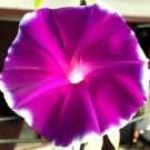 Morning Glory Purple Dragon