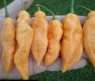 Peach Bhut Jolokia