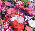 Bibit Bunga Petunia Mix