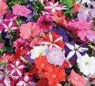 Bibit Bunga Petunia Mix
