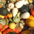 Labu Hias (Rainbow Gourd)