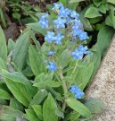 Bunga Chinese Forget Me Not