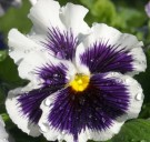 Bibit 'White & Purple' Pansy