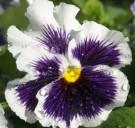 Bibit 'White & Purple' Pansy