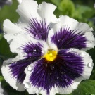 'White & Purple' Pansy