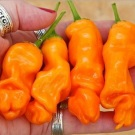 Orange Peter Pepper (Cabe Porno)