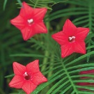 Cypress Vine (Red)