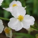 Arrowhead White