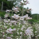Beardtongue Pale