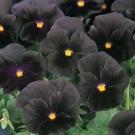 Bibit Bunga Black Pansy