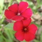 Drummond Red Phlox