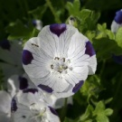 Five Spot Nemophila