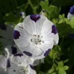 Benih Nemophila Five Spot 30 Biji – Non Retail