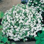 Benih Lobelia White Fountain 50 Biji – Non Retail