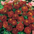 Marigold Red Cherry (French)