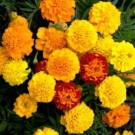 French Marigold (Dwarf) Double Mixed