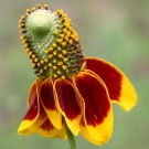 Mexican Hat (Tall)