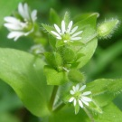 Mouse's Ear Chickweed