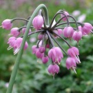 Nodding Onion (Allium)