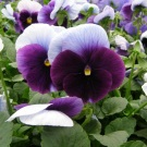 Pansy Blue Beacon