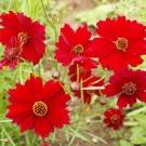 Red Coreopsis Dwarf