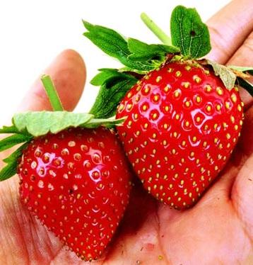 strawberry-giant-indonesia