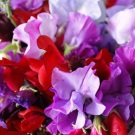 Sweet Pea Royal Family