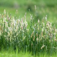 Benih Timothy Grass