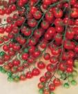 Tomat Cherry Sweet Million F1