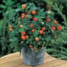 Benih Tomat Garden Pearl