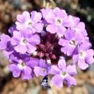 Bibit Bunga Verbena Hardy Moss