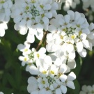 White Empress Candytuft