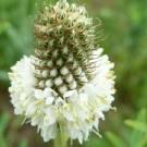 Benih White Prairie Clover