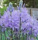 Bibit Wild Hyacinth