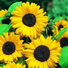 Sunflower Hallo