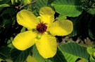 Bibit Bunga Simpur Brunei