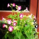 Wishbone Flower 'Pink & White'