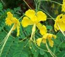 Kembang Merak Kuning